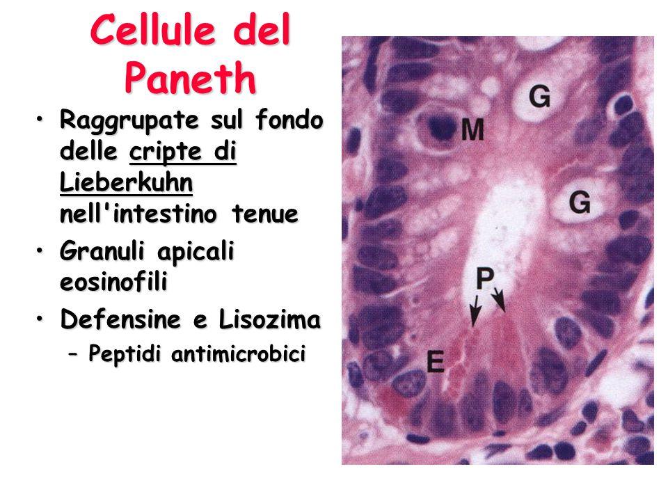 Cellule del Paneth Raggrupate sul fondo delle cripte di Lieberkuhn nell'intestino tenueRaggrupate sul fondo delle cripte di Lieberkuhn nell'intestino