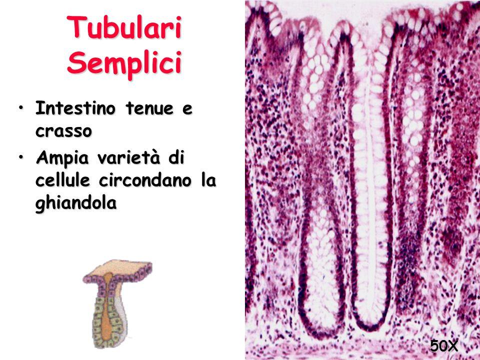 Tubulari Semplici Intestino tenue e crassoIntestino tenue e crasso Ampia varietà di cellule circondano la ghiandolaAmpia varietà di cellule circondano
