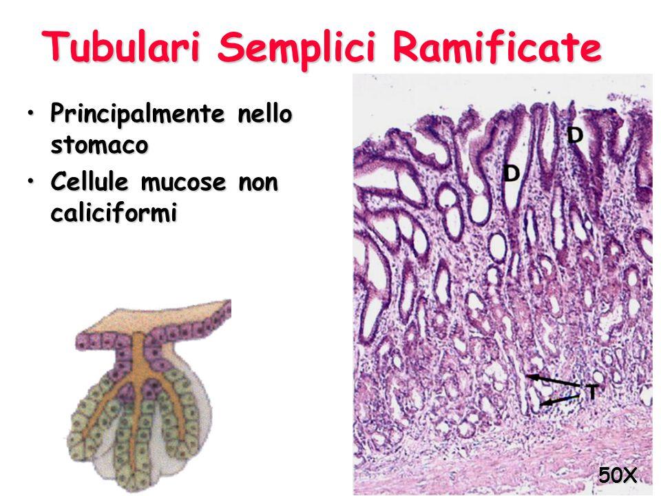 Tubulari Semplici Ramificate Principalmente nello stomacoPrincipalmente nello stomaco Cellule mucose non caliciformiCellule mucose non caliciformi 50X