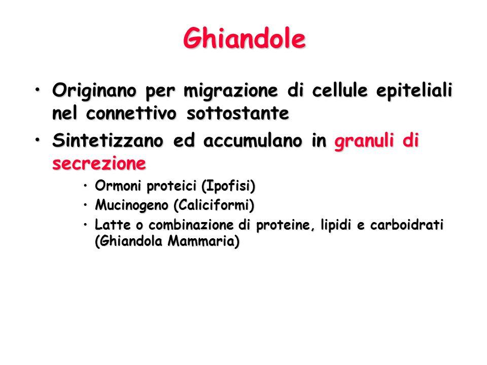 Ghiandole Originano per migrazione di cellule epiteliali nel connettivo sottostanteOriginano per migrazione di cellule epiteliali nel connettivo sotto