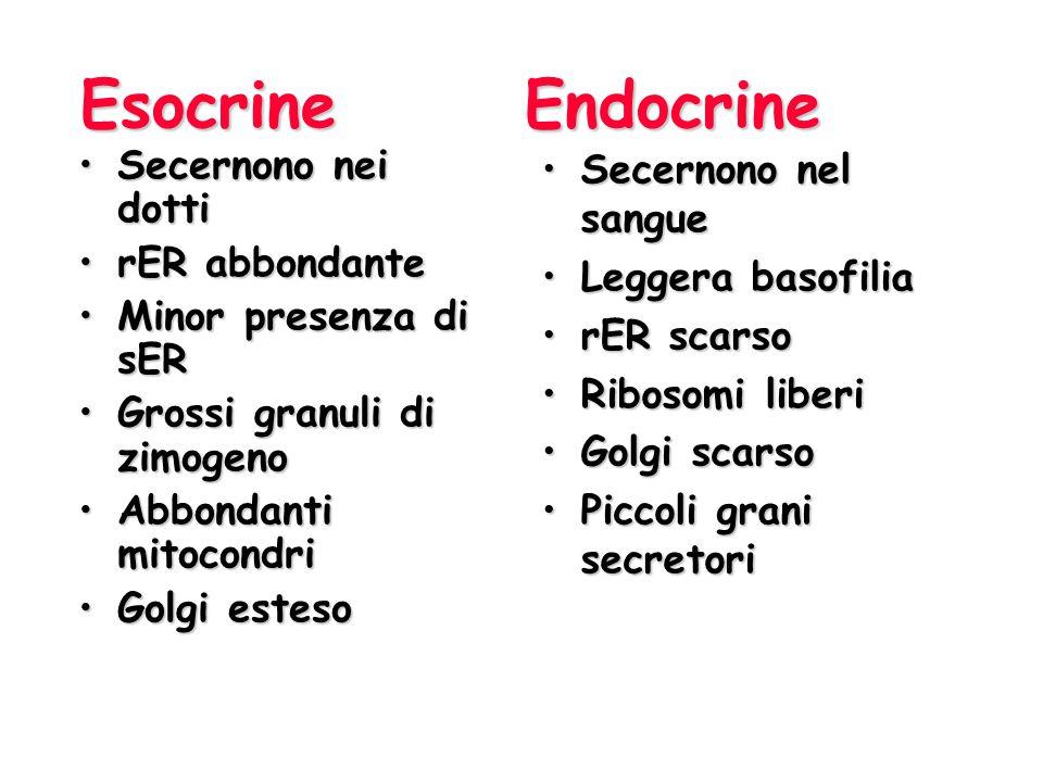 Esocrine Endocrine Secernono nel sangueSecernono nel sangue Leggera basofiliaLeggera basofilia rER scarsorER scarso Ribosomi liberiRibosomi liberi Gol