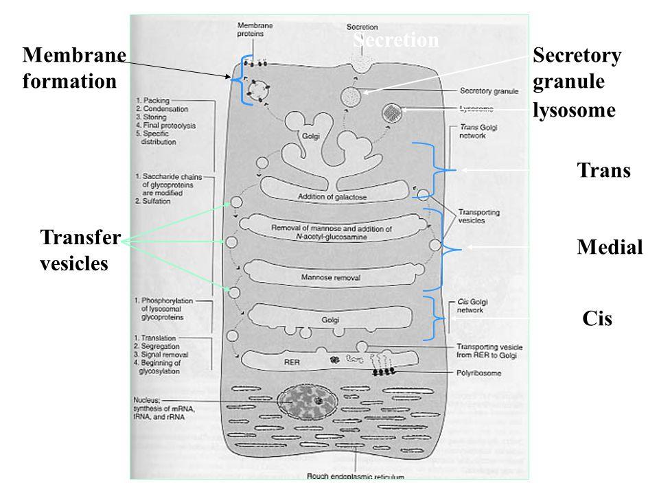 Cis Medial Trans Transfer vesicles lysosome Secretory granule Membrane formation Secretion
