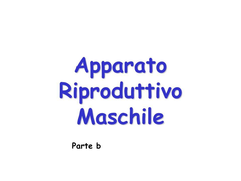 Apparato Riproduttivo Maschile Parte b