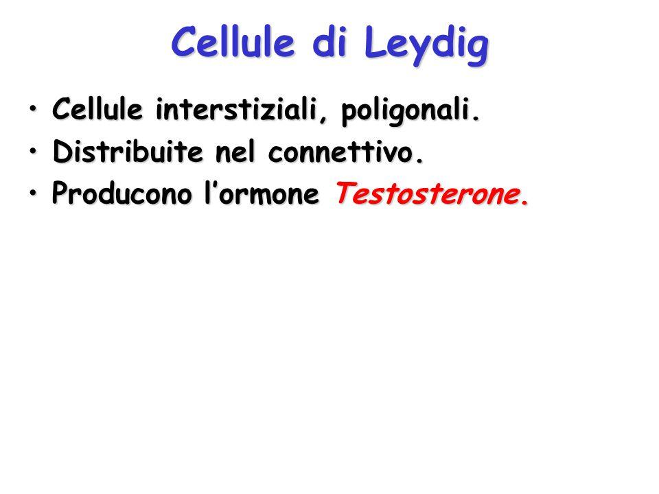 Cellule di Leydig Cellule interstiziali, poligonali.Cellule interstiziali, poligonali. Distribuite nel connettivo.Distribuite nel connettivo. Producon
