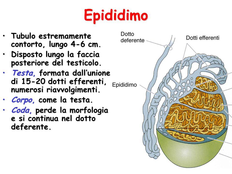 Epididimo Tubulo estremamente contorto, lungo 4-6 cm.Tubulo estremamente contorto, lungo 4-6 cm.
