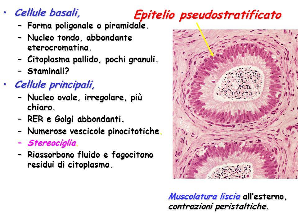 Cellule basali,Cellule basali, –Forma poligonale o piramidale. –Nucleo tondo, abbondante eterocromatina. –Citoplasma pallido, pochi granuli. –Staminal