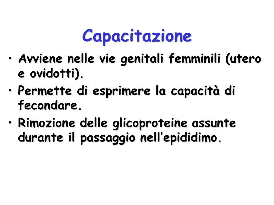 Capacitazione Avviene nelle vie genitali femminili (utero e ovidotti).Avviene nelle vie genitali femminili (utero e ovidotti). Permette di esprimere l