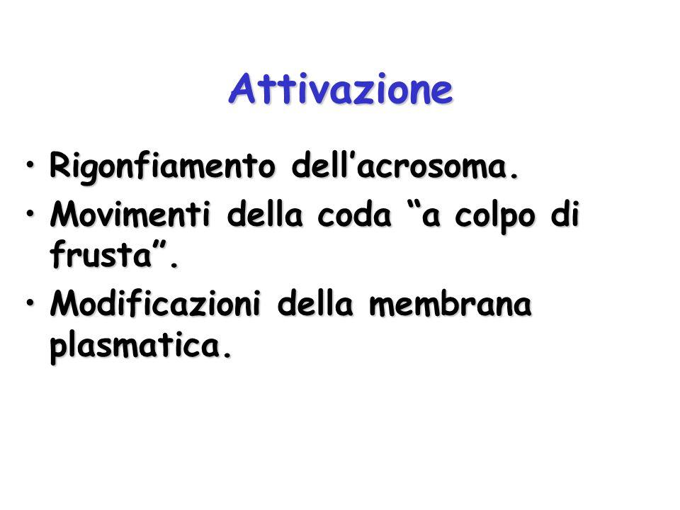 Attivazione Rigonfiamento dell'acrosoma.Rigonfiamento dell'acrosoma.