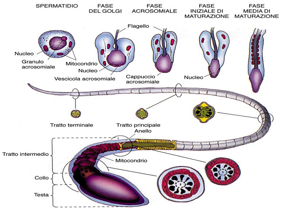 Spermiogenesi Fase del Golgi:Fase del Golgi: –Sintesi di enzimi idrolitici, accumulati in Granuli pre-acrosomiali, che si fondono a formare la Vescicola acrosomiale.