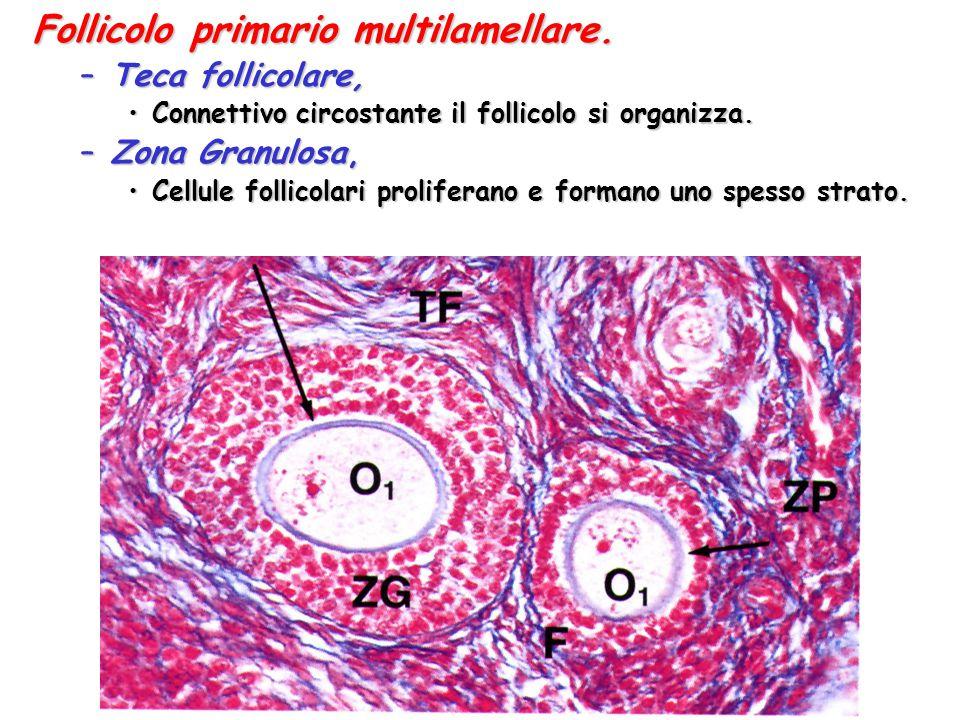 Follicolo primario multilamellare. –Teca follicolare, Connettivo circostante il follicolo si organizza.Connettivo circostante il follicolo si organizz