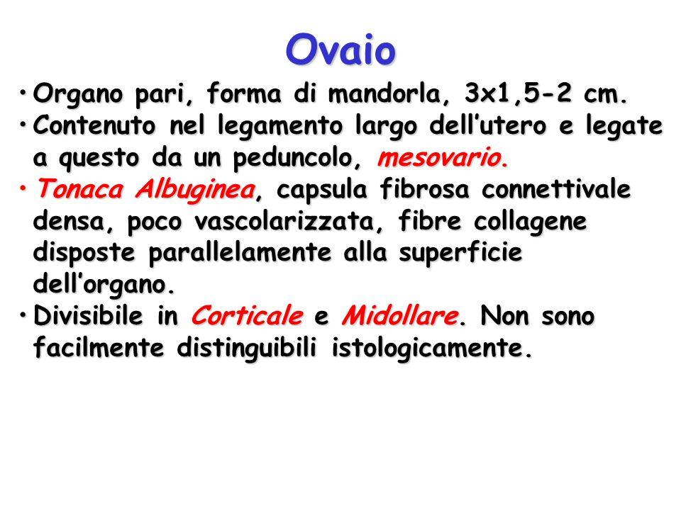 Ovaio Organo pari, forma di mandorla, 3x1,5-2 cm.Organo pari, forma di mandorla, 3x1,5-2 cm. Contenuto nel legamento largo dell'utero e legate a quest