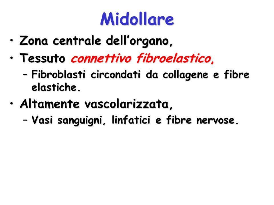 Midollare Zona centrale dell'organo,Zona centrale dell'organo, Tessuto connettivo fibroelastico,Tessuto connettivo fibroelastico, –Fibroblasti circond
