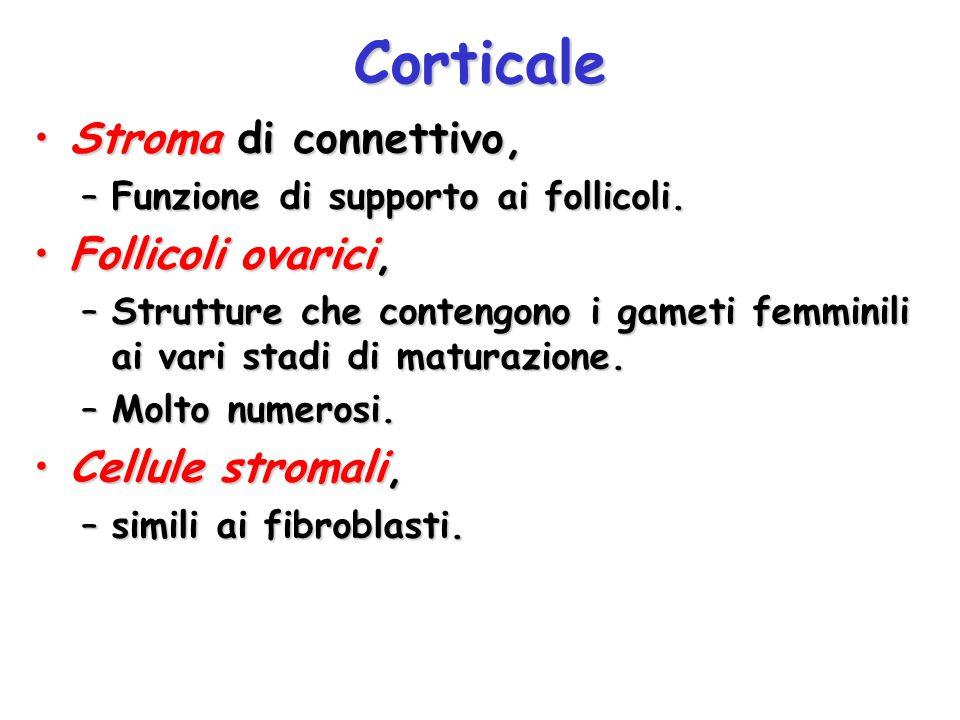 Corticale Stroma di connettivo,Stroma di connettivo, –Funzione di supporto ai follicoli. Follicoli ovarici,Follicoli ovarici, –Strutture che contengon