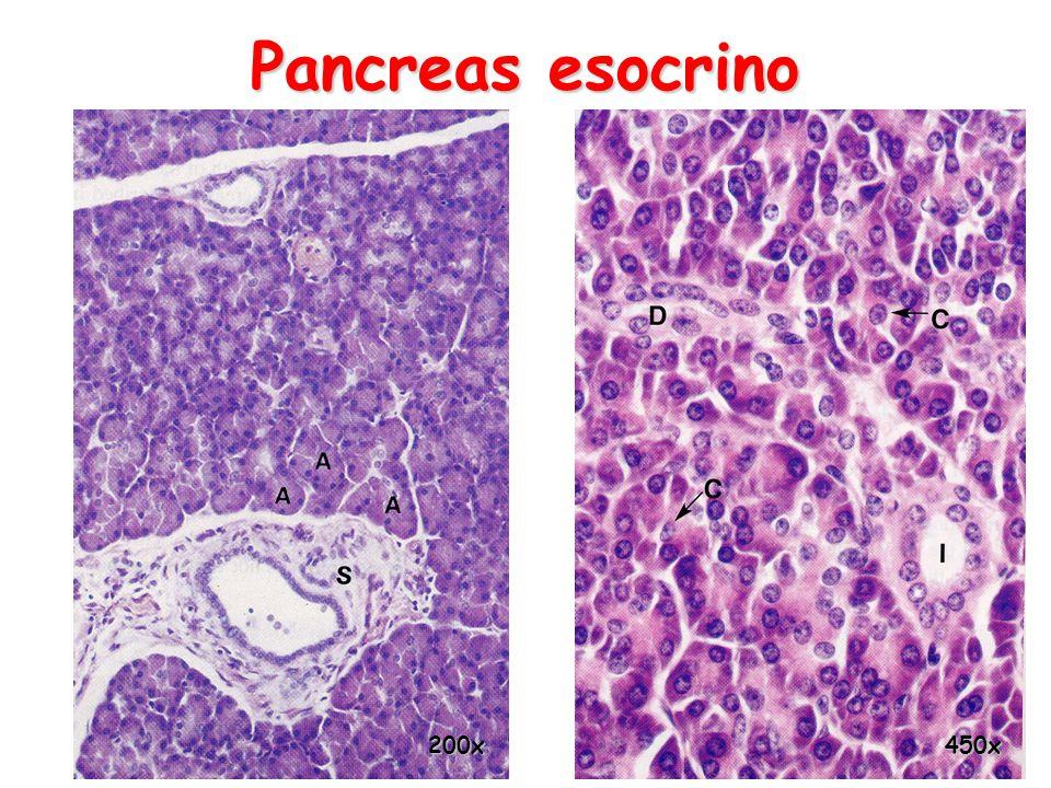 Pancreas esocrino 450x200x