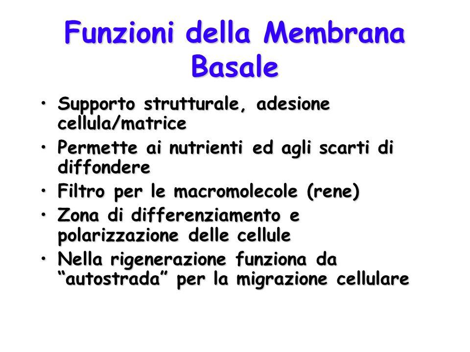 Funzioni della Membrana Basale Supporto strutturale, adesione cellula/matriceSupporto strutturale, adesione cellula/matrice Permette ai nutrienti ed a