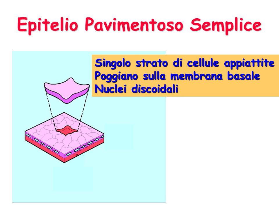 Epitelio Pavimentoso Semplice Singolo strato di cellule appiattite Poggiano sulla membrana basale Nuclei discoidali