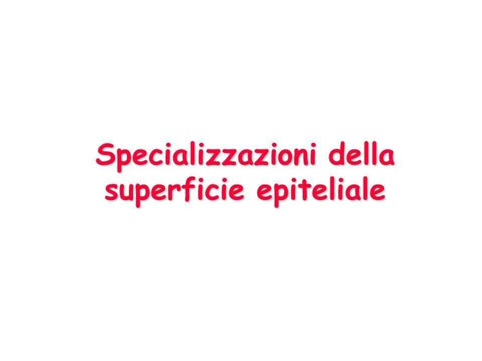 Specializzazioni della superficie epiteliale