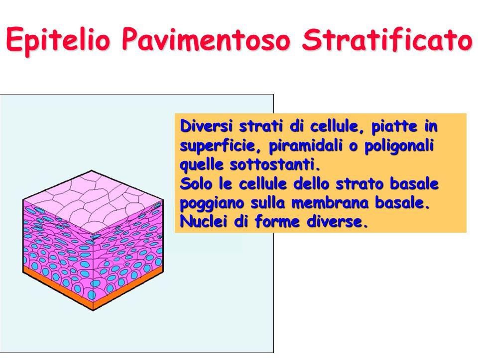 Epitelio Pavimentoso Stratificato Diversi strati di cellule, piatte in superficie, piramidali o poligonali quelle sottostanti. Solo le cellule dello s