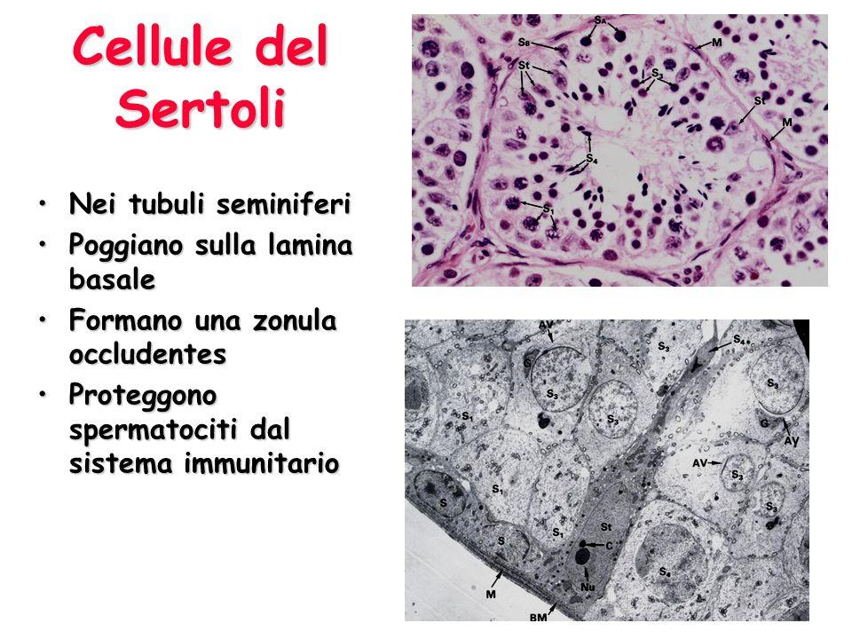Cellule del Sertoli Nei tubuli seminiferiNei tubuli seminiferi Poggiano sulla lamina basalePoggiano sulla lamina basale Formano una zonula occludentes