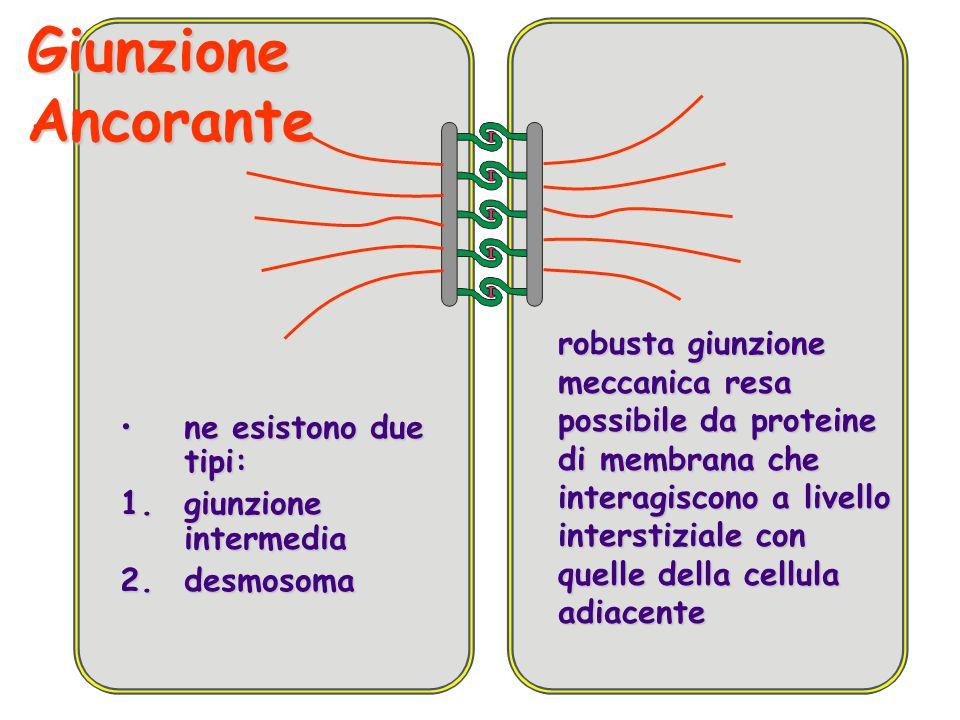 Giunzione Ancorante robusta giunzione meccanica resa possibile da proteine di membrana che interagiscono a livello interstiziale con quelle della cell