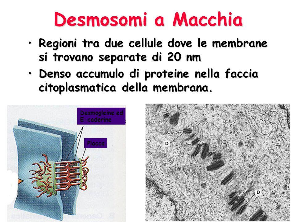 Desmosomi a Macchia Regioni tra due cellule dove le membrane si trovano separate di 20 nmRegioni tra due cellule dove le membrane si trovano separate