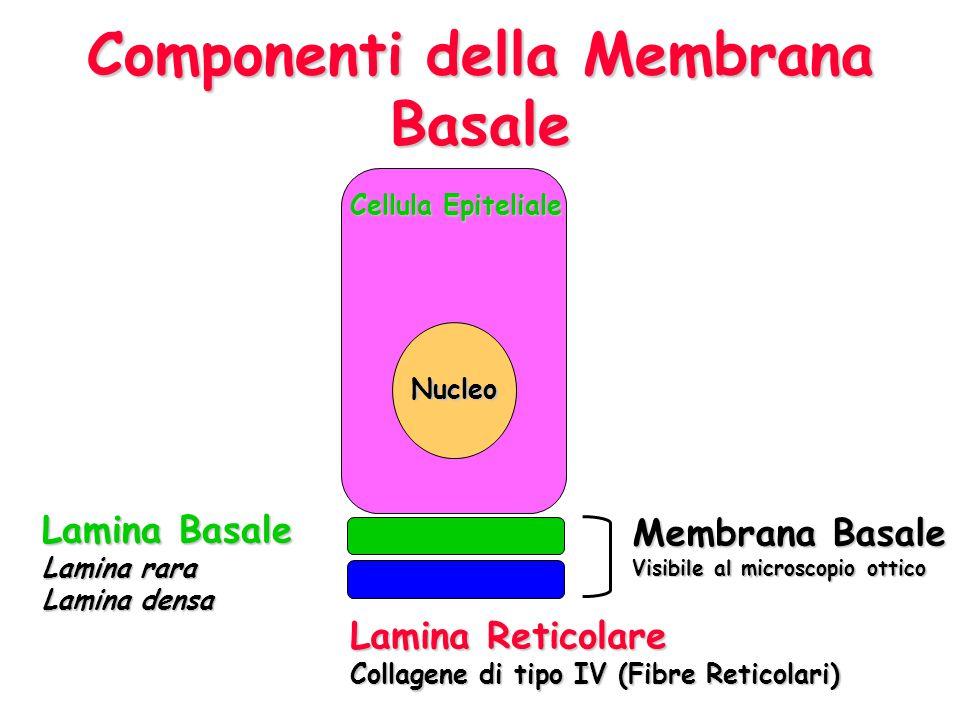 Componenti della Membrana Basale Membrana Basale Visibile al microscopio ottico Lamina Reticolare Collagene di tipo IV (Fibre Reticolari) Lamina Basal