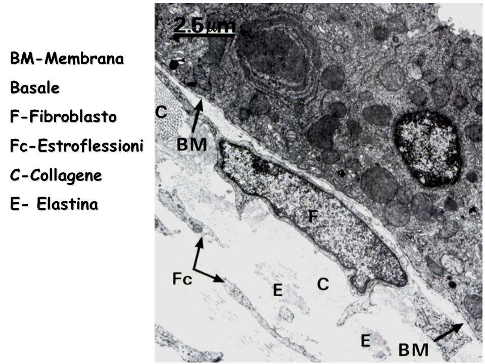 Componenti della Membrana Basale Lamina BasaleLamina Basale –Collagene di tipo IV –Eparansolfato –Fibronectina e Laminina Lamina ReticolareLamina Reticolare –Collagene di tipo II –Chiamato anche Fibre Reticolari Lamina Lucida Densa Fibroreticolare
