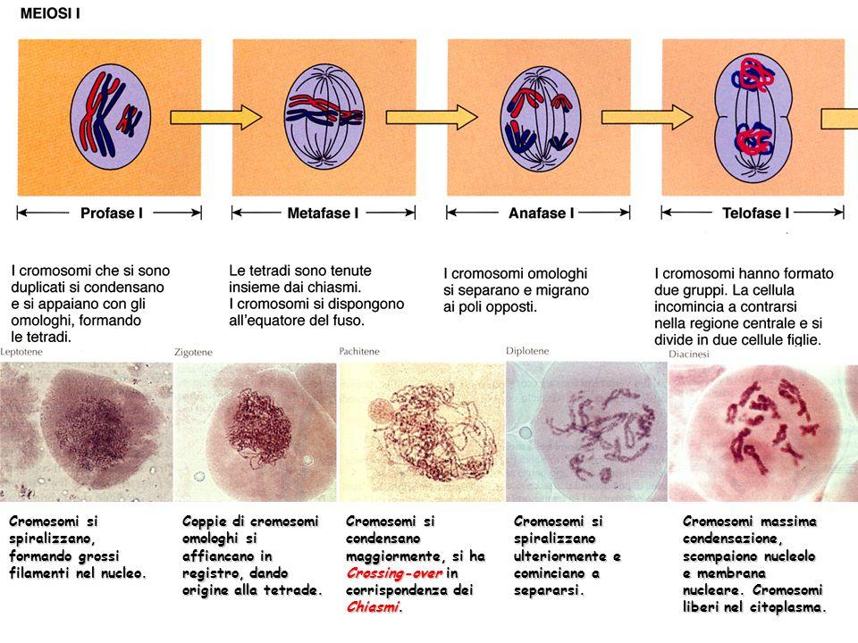 Cromosomi si spiralizzano, formando grossi filamenti nel nucleo. Coppie di cromosomi omologhi si affiancano in registro, dando origine alla tetrade. C