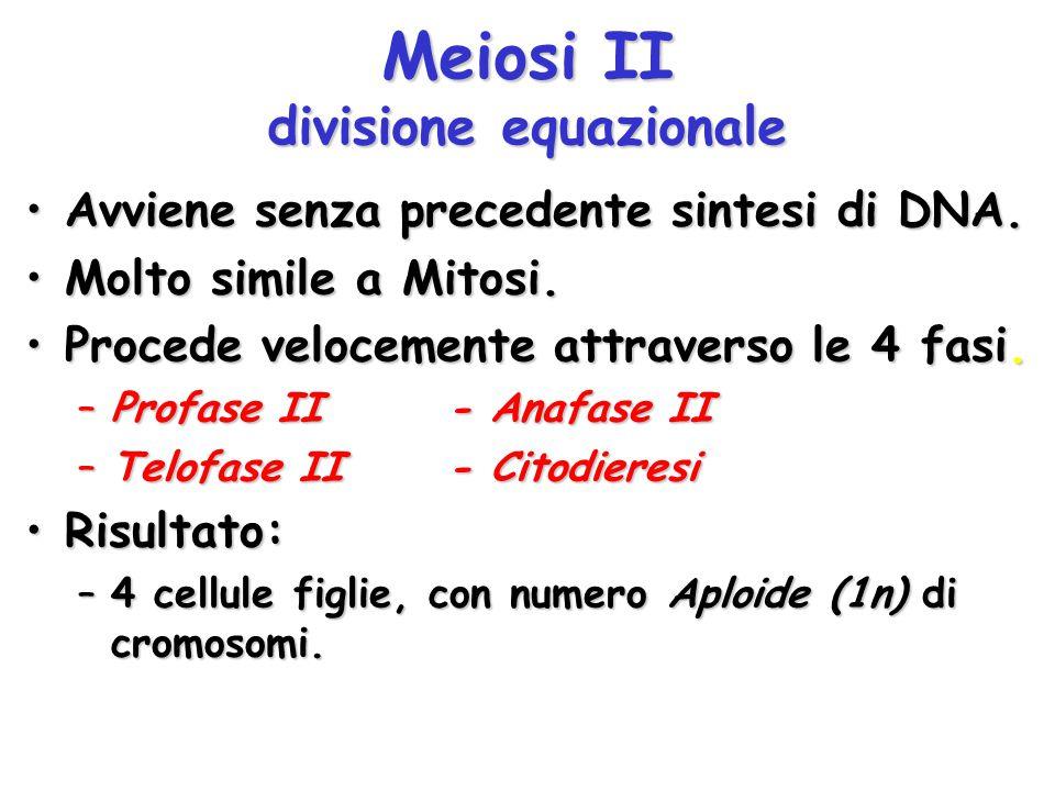 Meiosi II divisione equazionale Avviene senza precedente sintesi di DNA.Avviene senza precedente sintesi di DNA. Molto simile a Mitosi.Molto simile a