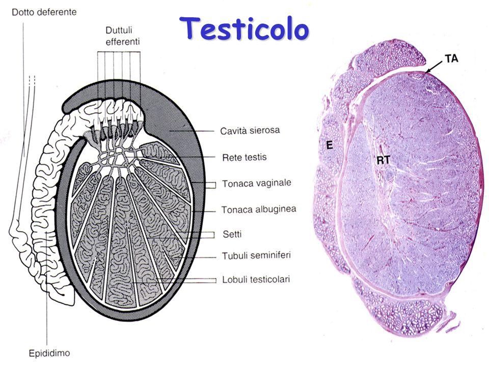 SASASASA SBSBSBSB S1S1S1S1 S3S3S3S3 S4S4S4S4 St, cellule del Sertoli M, miofibroblasti fusiformi
