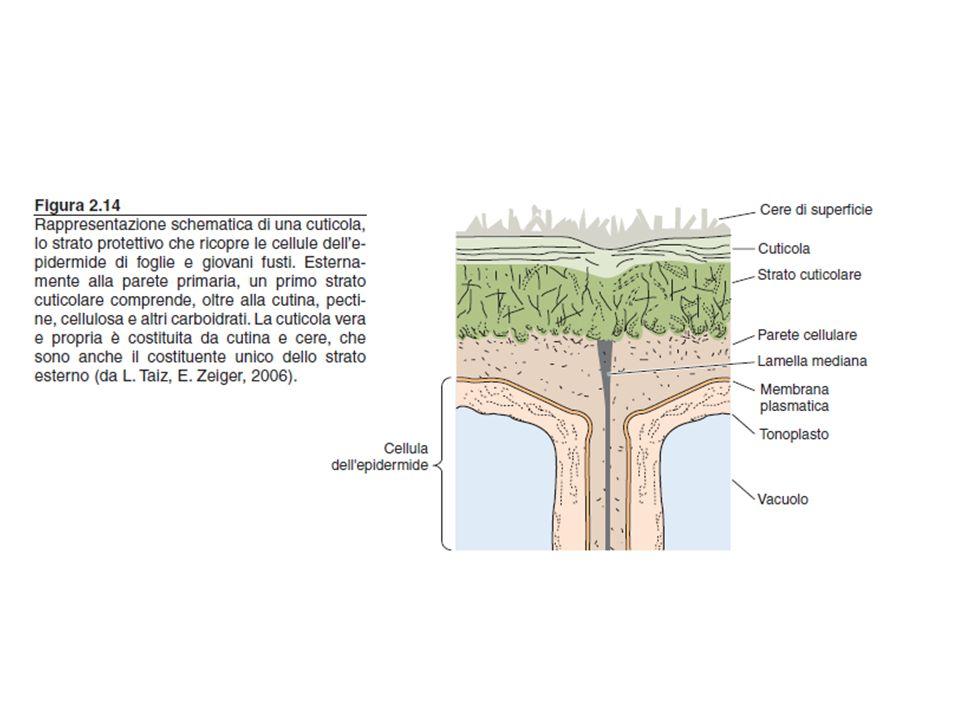 cuticola epidermide