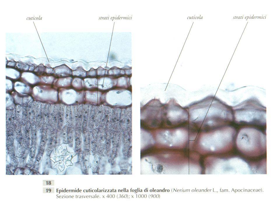 SUBERIFICAZIONE Modificazione della parete secondaria dovuta alla SUBERINA sostanza costituita da acidi grassi a catena molto lunga (18-24 atomi di carbonio), coniugati con alcoli e sostanze fenoliche (da qui la colorazione bruna).