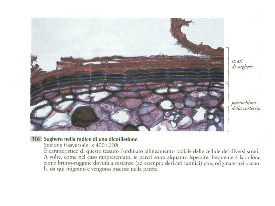 GELIFICAZIONE Frequente è la formazione di MUCILLAGINI dovuta ad un aumento delle sostanze pectiche.