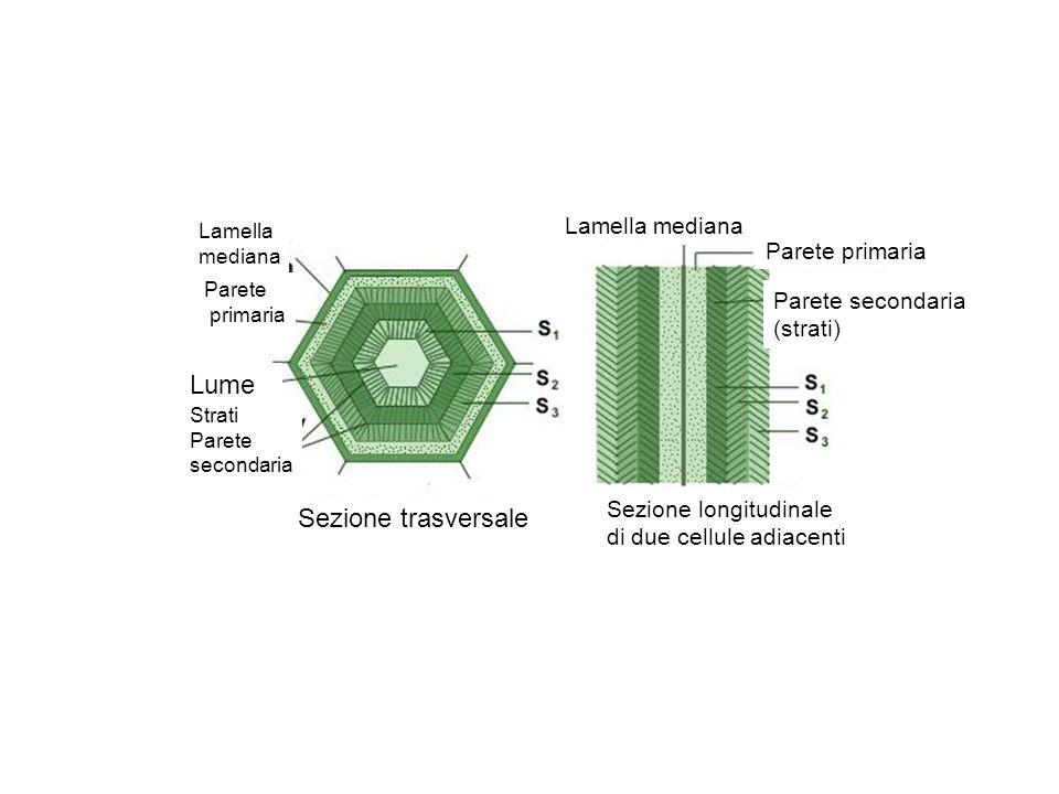 Lamella mediana Parete primaria Lume Strati Parete secondaria Lamella mediana Parete primaria Parete secondaria (strati) Sezione trasversale Sezione l