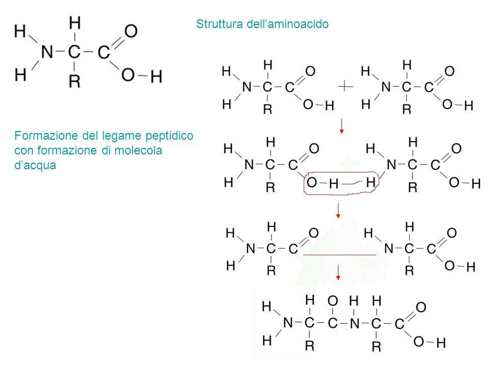 Struttura dell'aminoacido Formazione del legame peptidico con formazione di molecola d'acqua