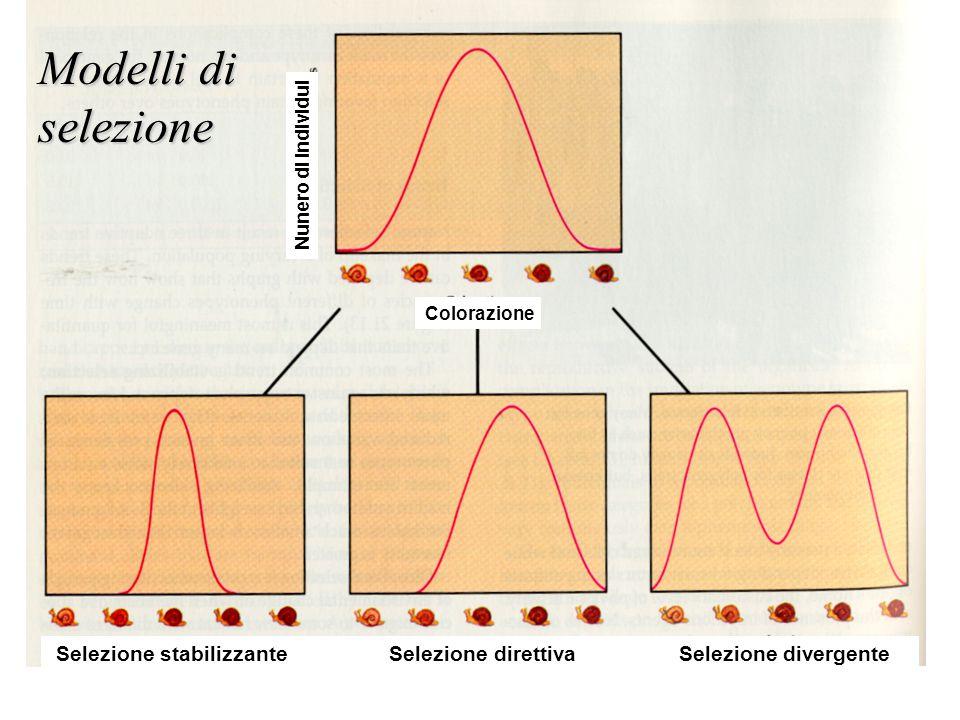 Selezione stabilizzante Selezione direttiva Selezione divergente Colorazione Nunero di individui Modelli di selezione