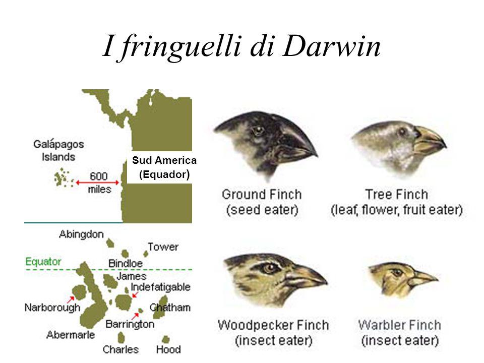 I fringuelli di Darwin Sud America (Equador )
