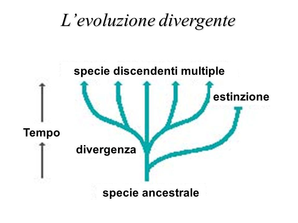 specie ancestrale Tempo divergenza estinzione specie discendenti multiple L'evoluzione divergente