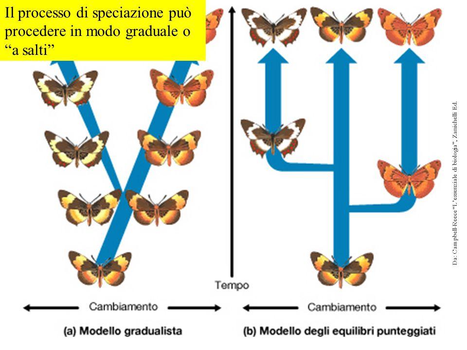 """Il processo di speciazione può procedere in modo graduale o """"a salti"""" Da: Campbell-Reece """"L'essenziale di biologia"""", Zanichelli Ed."""