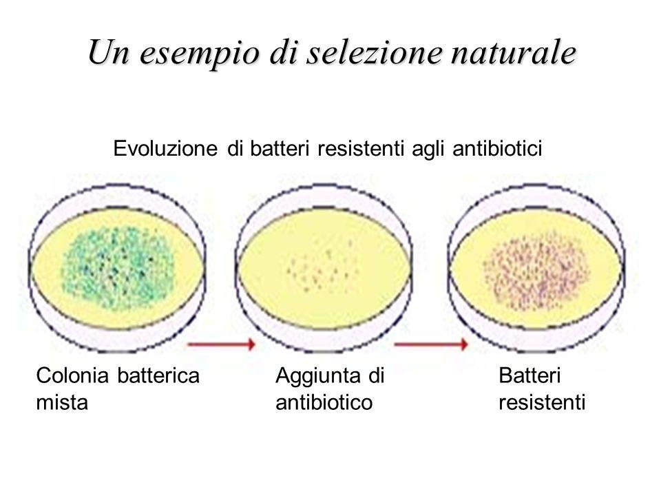 Un esempio di selezione naturale Colonia batterica mista Aggiunta di antibiotico Batteri resistenti Evoluzione di batteri resistenti agli antibiotici