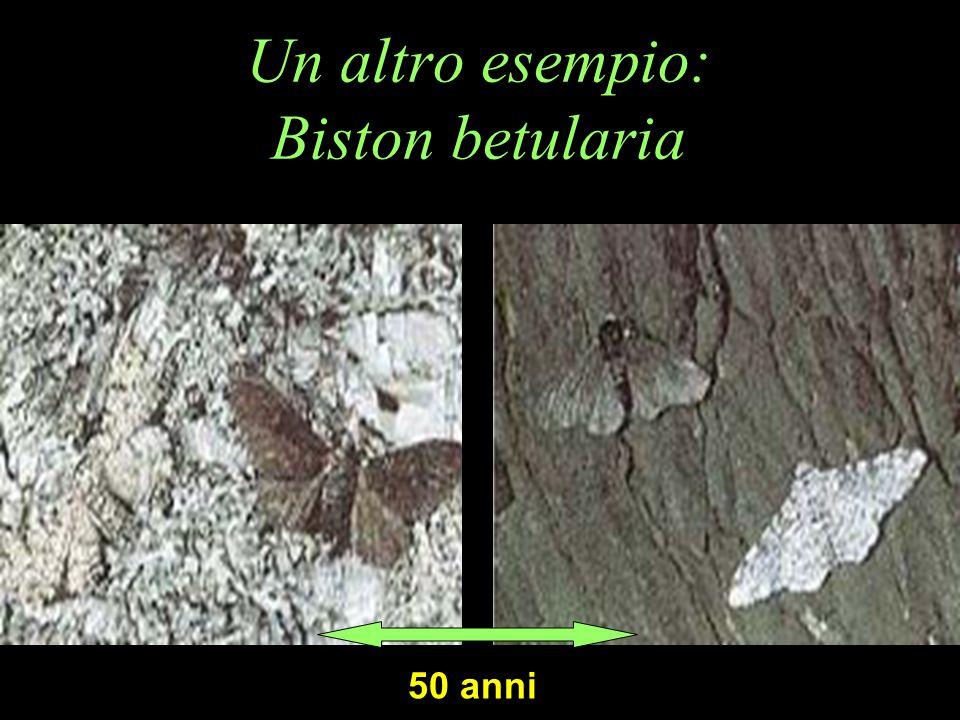 Un altro esempio: Biston betularia 50 anni