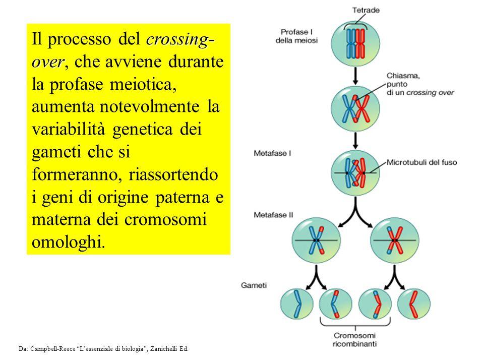 crossing- over Il processo del crossing- over, che avviene durante la profase meiotica, aumenta notevolmente la variabilità genetica dei gameti che si formeranno, riassortendo i geni di origine paterna e materna dei cromosomi omologhi.