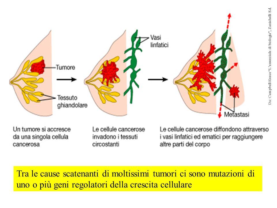 Tra le cause scatenanti di moltissimi tumori ci sono mutazioni di uno o più geni regolatori della crescita cellulare Da: Campbell-Reece L'essenziale di biologia , Zanichelli Ed.