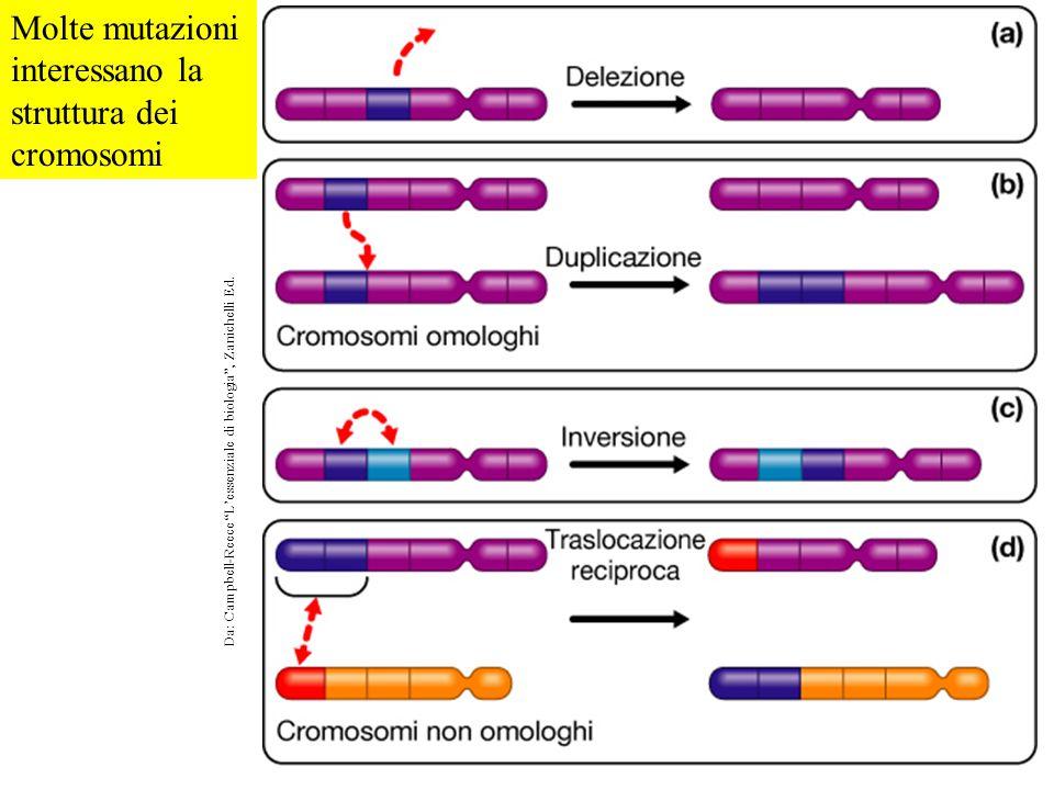 """Molte mutazioni interessano la struttura dei cromosomi Da: Campbell-Reece """"L'essenziale di biologia"""", Zanichelli Ed."""
