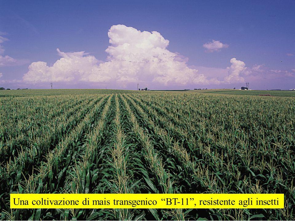 """Una coltivazione di mais transgenico """"BT-11"""", resistente agli insetti"""