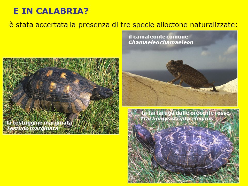 E IN CALABRIA? la testuggine marginata Testudo marginata il camaleonte comune Chamaeleo chamaeleon la tartaruga dalle orecchie rosse Trachemys scripta