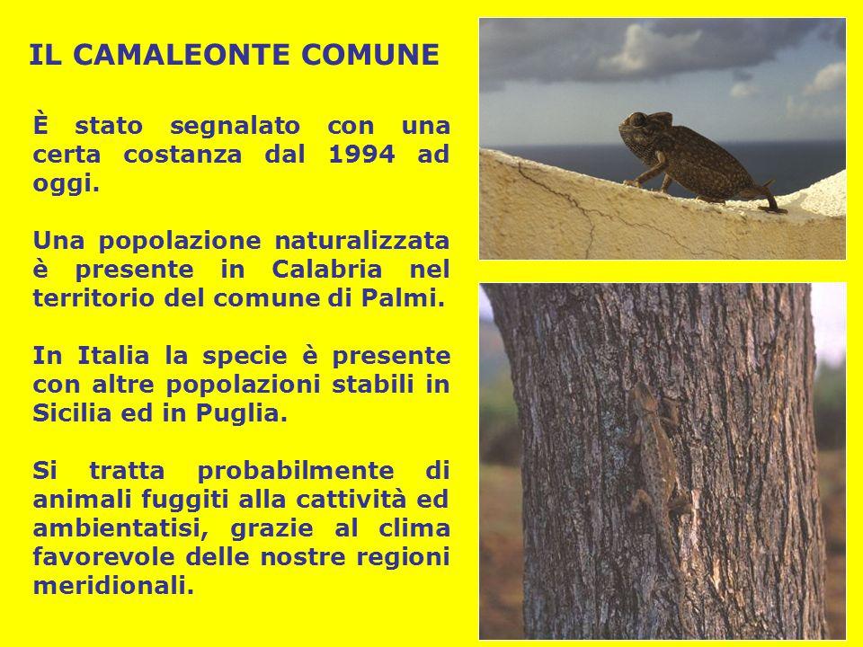 IL CAMALEONTE COMUNE È stato segnalato con una certa costanza dal 1994 ad oggi. Una popolazione naturalizzata è presente in Calabria nel territorio de