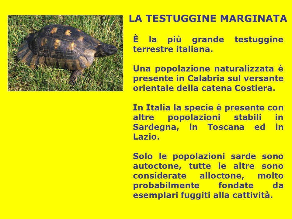 LA TESTUGGINE MARGINATA È la più grande testuggine terrestre italiana. Una popolazione naturalizzata è presente in Calabria sul versante orientale del