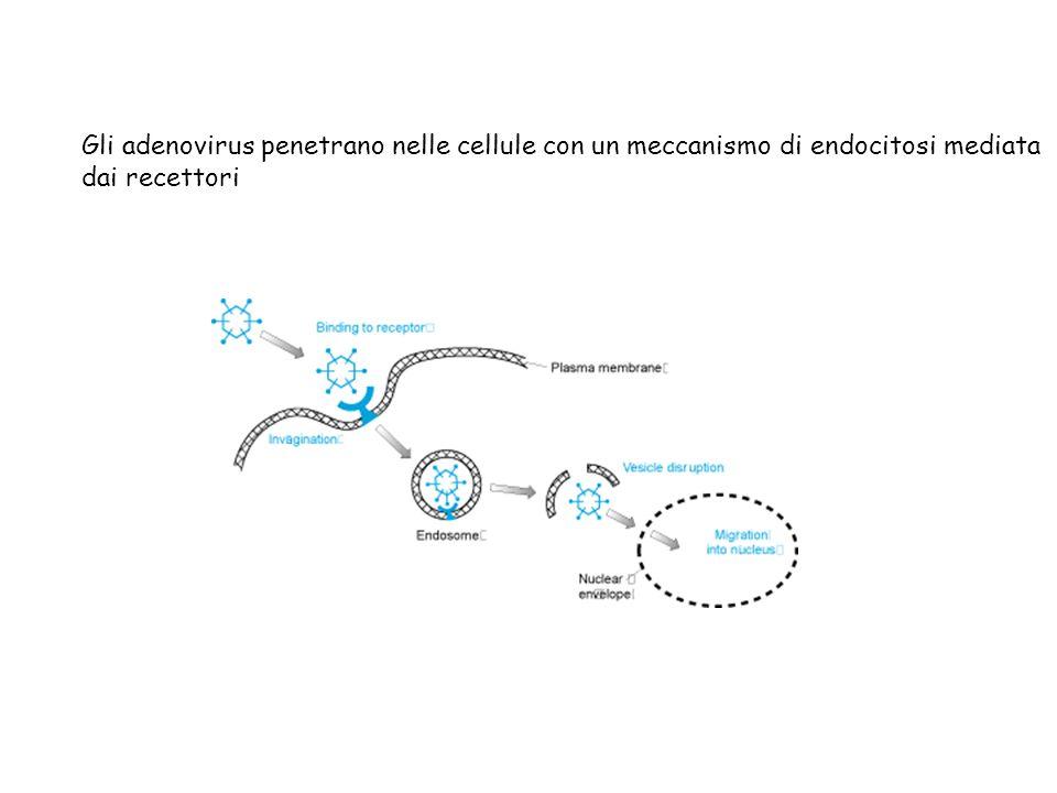 Gli adenovirus penetrano nelle cellule con un meccanismo di endocitosi mediata dai recettori