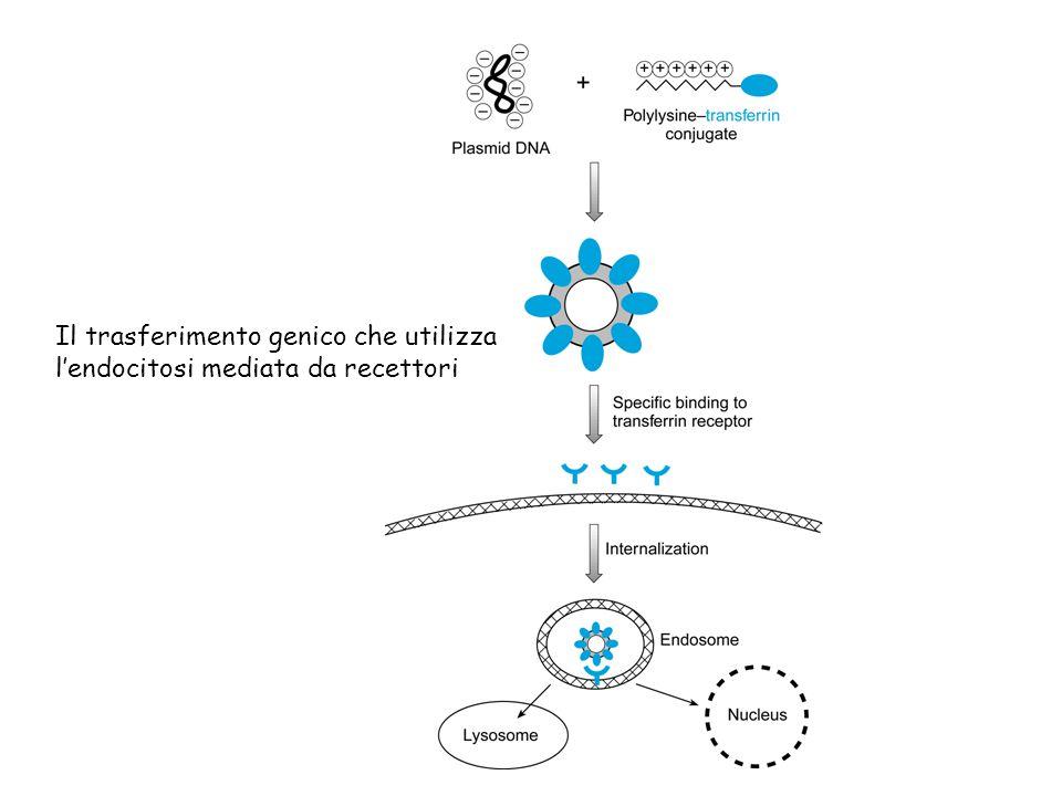Il trasferimento genico che utilizza l'endocitosi mediata da recettori